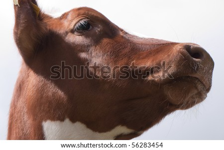 Head of a calf - stock photo