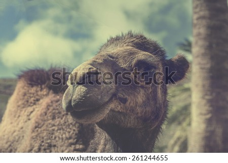 Head of a camel in close up - stock photo