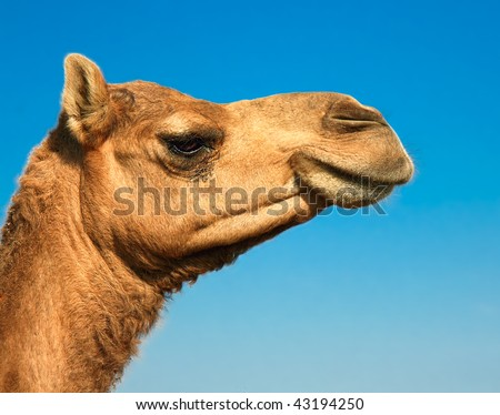 Head of a camel on safari - desert, Gujarati, India - stock photo