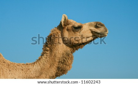Head of a camel on safari - desert, Rajasthan, India