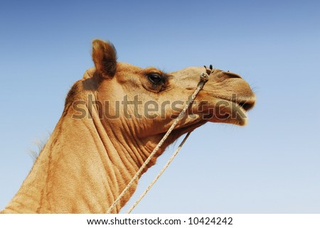 head of a camel with clear blue sky background - stock photo