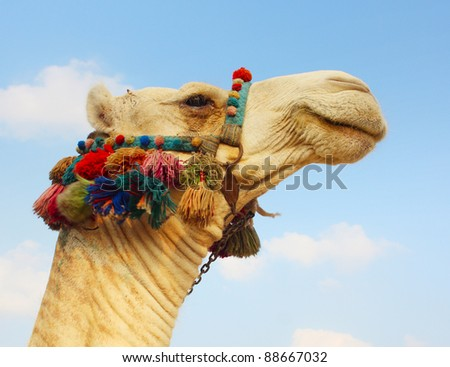 Head of a camel with colored bedouin's decoration - stock photo