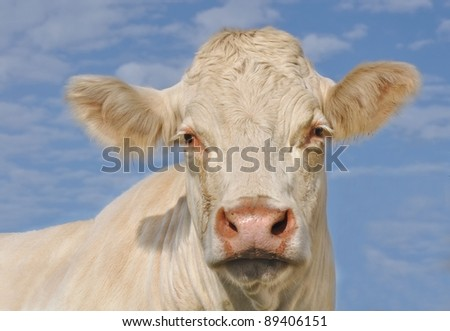 head of a Charolais cow front view under blue sky - stock photo