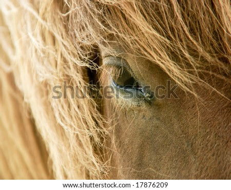 Head of a chestnut icelandic horse