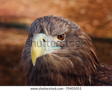 Head of a eagle - stock photo