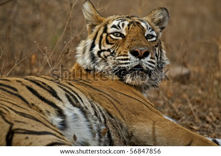 Head of a female Bengal tiger in Ranthambhore national park - stock photo