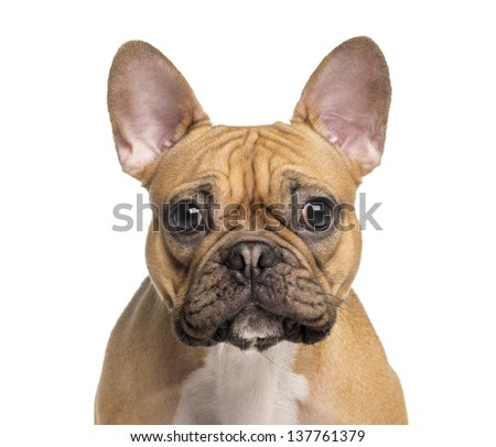 head of a French Bulldog, isolated on white - stock photo