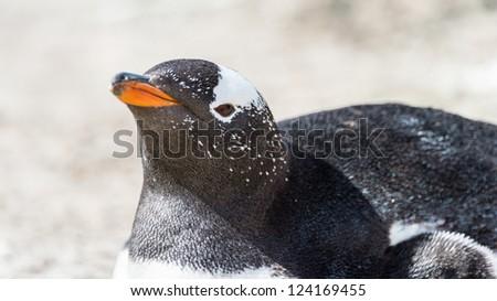 Head of a Gentoo penguin.  Falkland Islands, South Atlantic Ocean, British Overseas Territory - stock photo