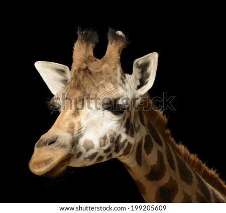Head of a giraffe (Giraffa camelopardalis) isolated on a black background.  - stock photo