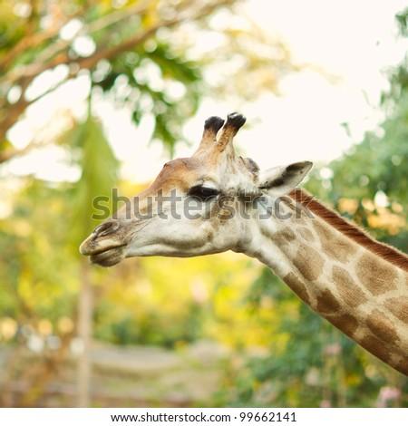 head of a giraffe in the wild - stock photo