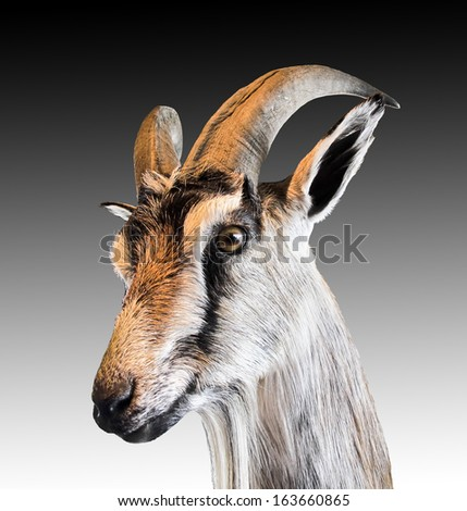 Head  of a goat, extracted - stock photo