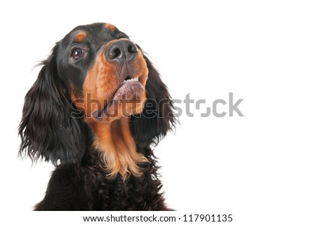 head of a little puppy Gordon setter