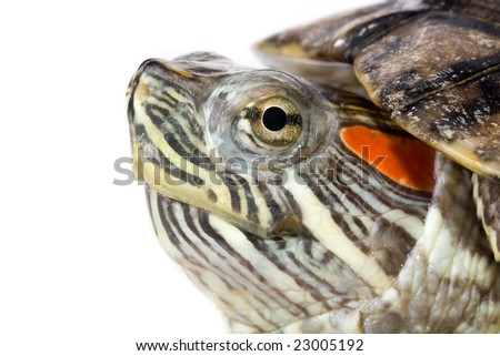 Head of a little turtle - stock photo