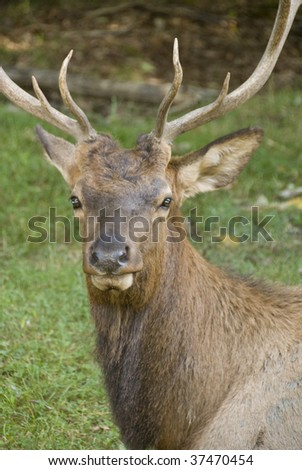 head of a male deer with antlers
