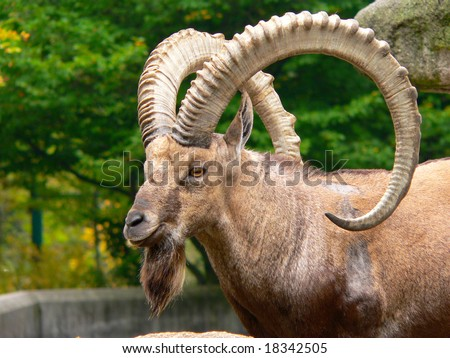 Head of a male Nubian Ibex (Capra ibex) photographed in a zoo - stock photo