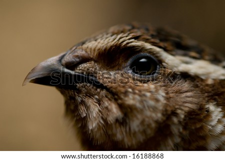 Head of a quail with soft blurred background - stock photo