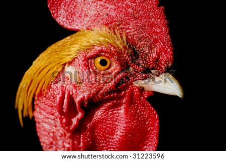 head of a rooster isolated on white
