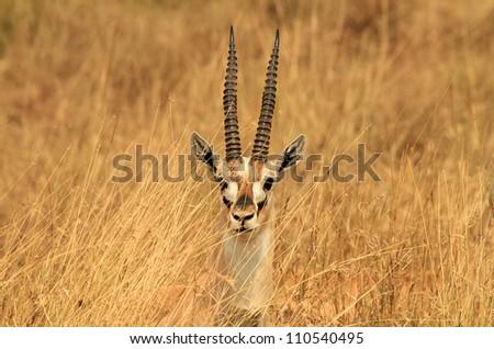 Head of a Thomson�¢??s Gazelle (Eudorcas Thomsonii) Sticking up in the Grass, Serengeti, Tanzania - stock photo