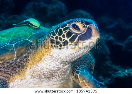 Head of a Turtle and 2 Remora