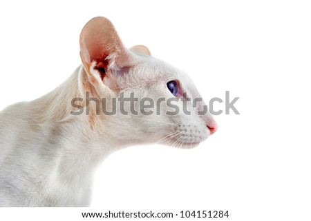 head of a white oriental cat in front of white background