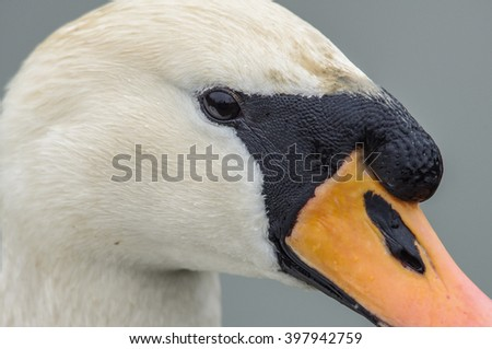 Head of a white swan in close up - stock photo