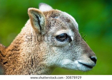 head of a young sika deer fawn (lat. cervus nippon) - stock photo