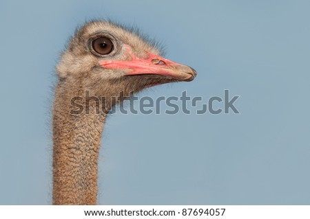 Head of african ostrich male Struthio camelus