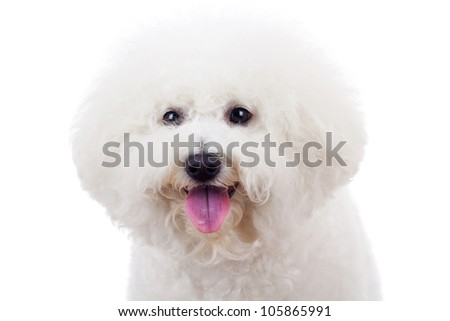 head of an adorable bichon frise puppy dog looking at the camera - stock photo