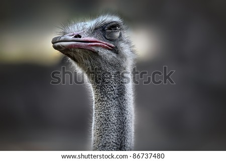 Head of an ostrich - stock photo