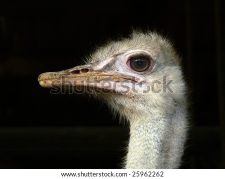 Head of an ostrich over a black background
