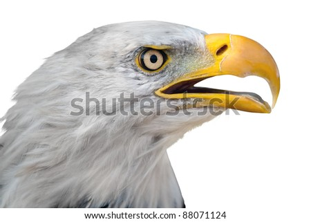 Head of bald eagle isolated on white background - stock photo