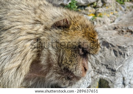 Head of barbary macaque