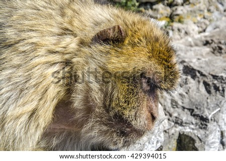Head of barbary macaque in Gibraltar