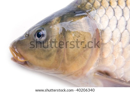 head of big carp isolated on white