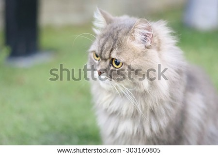 Head of big fat persian cat - stock photo