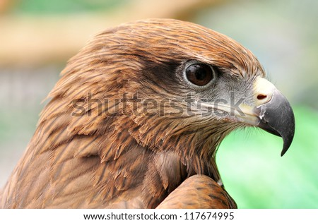 head of Black Kite Bird
