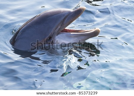 Head of Bottlenose dolphin or Tursiops truncatus above the water surface - stock photo