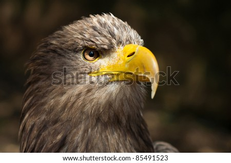 head of brown eagle