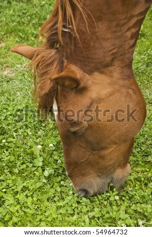 Head of brown horse eating green fresh grass