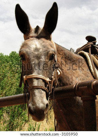 head of brown mule hitched up waiting for a rider - stock photo