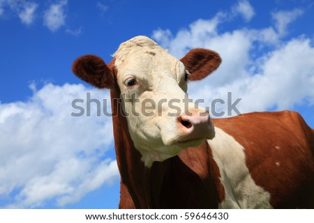 Head of Brown White freckled cow in the mountains - stock photo