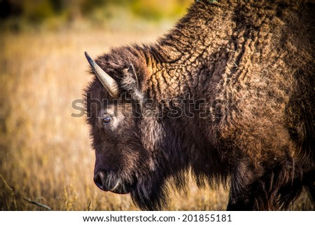 Head of buffalo grazing in pasture in Grand Teton National Park - stock photo