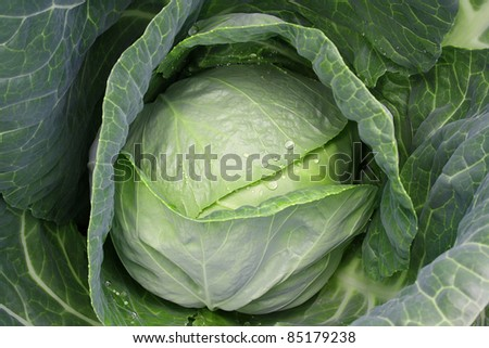 Head of cabbage close up with water drops