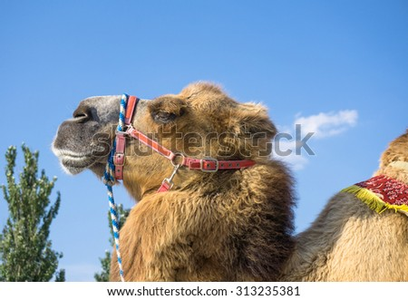 Head of camel against blue sky - stock photo