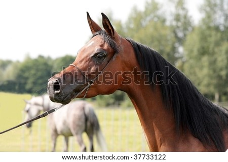 Head of chestnut arabian mare bred in polish stud with park end other mare in background. - stock photo