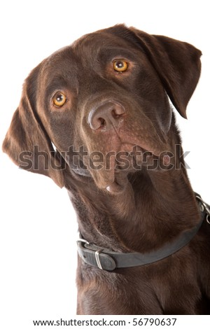 head of chocolate labrador retriever dog isolated on a white background - stock photo