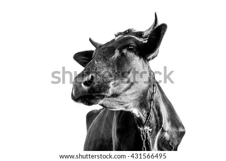 Head of cow on white background isolated. Style black and white photography. - stock photo