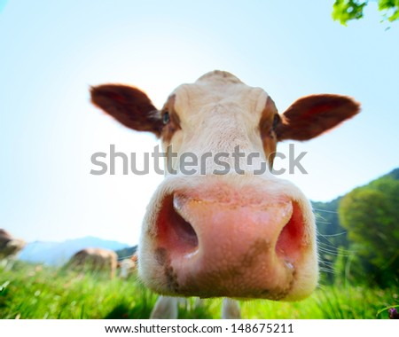 Head of cow walking on a green meadow at sunny day - stock photo