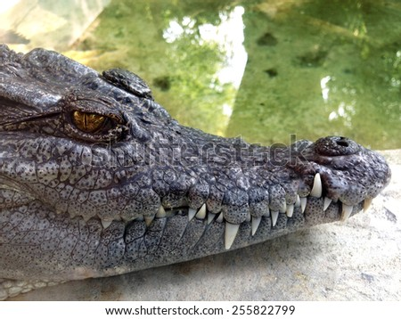 Head of Crocodile - stock photo