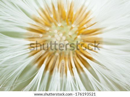 Head Of Dandelion Close Up - stock photo